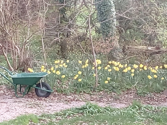daffs and whellbarrow